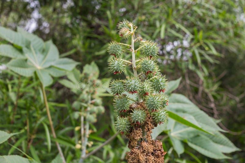 Ricinus communis, zna? jako rycynowy - nafciana ro?lina zielona obramiaj?ca zdj?ciu poziomo ro?linnych zdjęcie stock