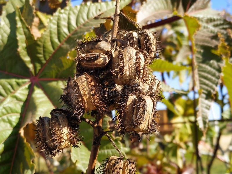 Ricinus owoc communis jadowitego liścia purpurowy liść w Cartaya prowincji Huelva Hiszpania zdjęcia stock
