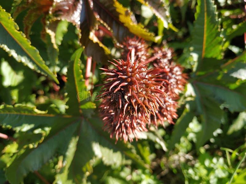Ricinus owoc communis jadowitego liścia purpurowy liść w Cartaya prowincji Huelva Hiszpania obraz stock