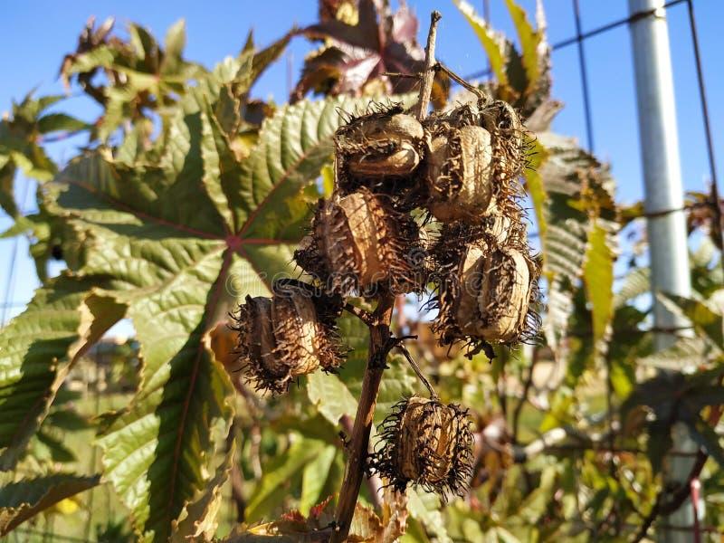 Ricinus owoc communis jadowitego liścia purpurowy liść w Cartaya prowincji Huelva Hiszpania fotografia stock
