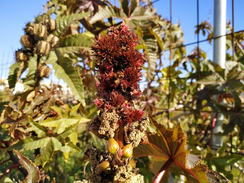 Ricinus owoc communis jadowitego liścia purpurowy liść w Cartaya prowincji Huelva Hiszpania obraz royalty free