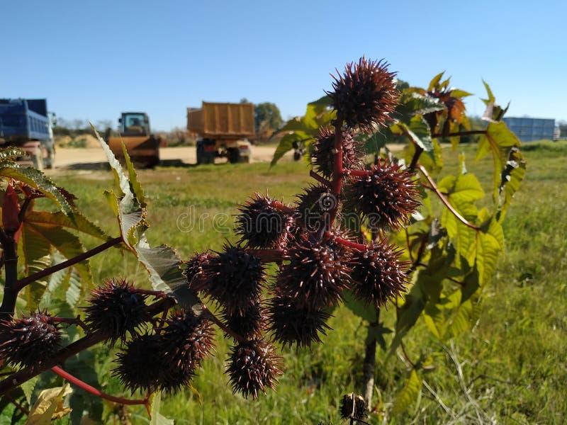 Ricinus owoc communis jadowitego liścia purpurowy liść w Cartaya prowincji Huelva Hiszpania zdjęcia royalty free