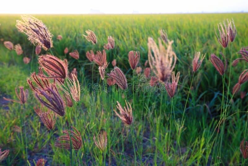 Ricopra di paglia il fiore Sekinchan fotografia stock