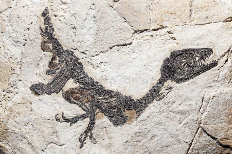 Ricostruzione del fossile del samniticus di Scipionyx immagine stock libera da diritti