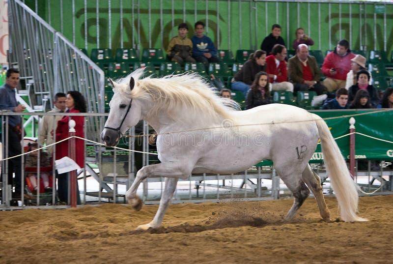 Rid- prov av morfologi till rena spanska hästar arkivbilder