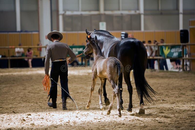 Rid- prov av morfologi till rena spanska hästar royaltyfria bilder