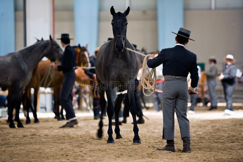 Rid- prov av morfologi till rena spanska hästar royaltyfria foton