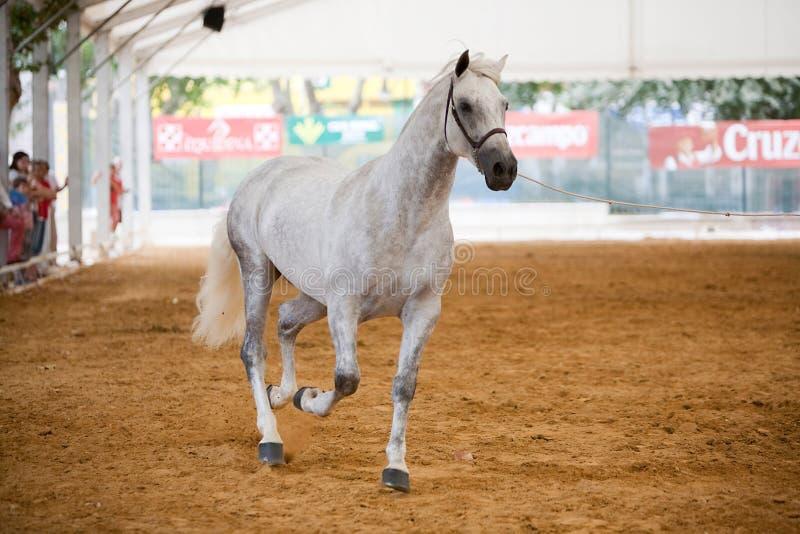 Rid- prov av morfologi till rena spanska hästar royaltyfri fotografi