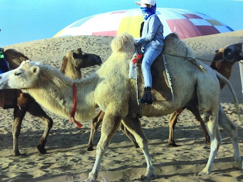 Rida på en kamel under att korsa öknen arkivbild