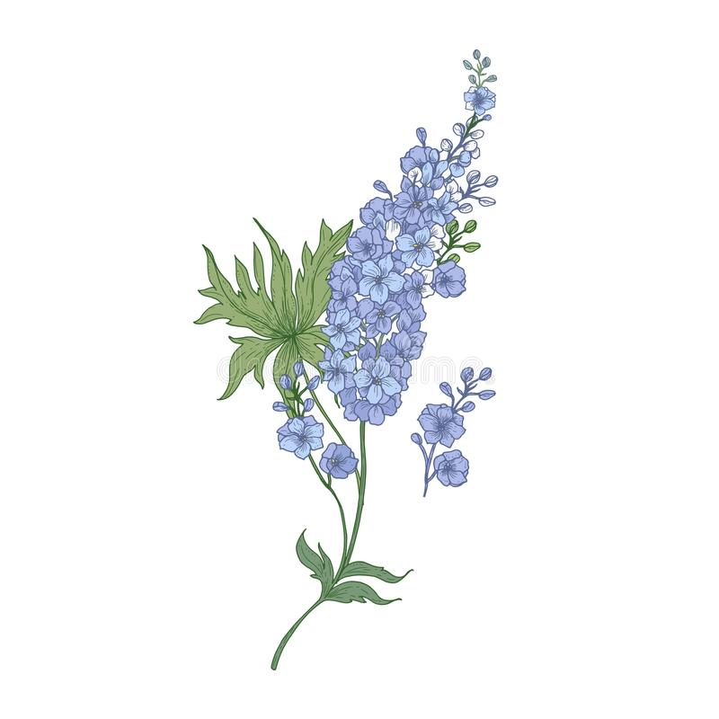 Ridderspoor of ridderspoor purpere bloeiende die bloemen op witte achtergrond worden geïsoleerd Elegante gedetailleerde botanisch vector illustratie