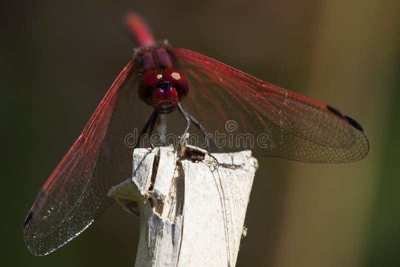 Riden zonnewijzer, Röd-ådrade Dropwing, Trithemis arteriosa royaltyfria bilder