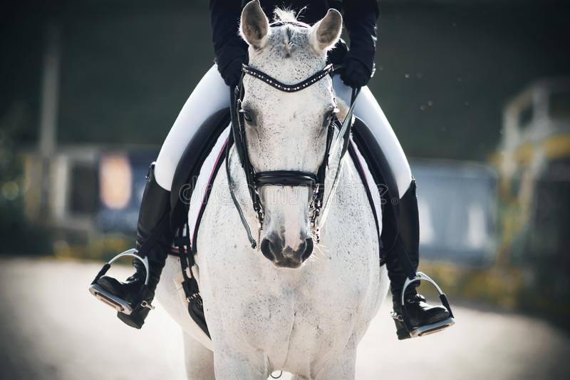 A rider sits astride a gray horse that walks through the arena. A rider in black boots in the stirrups sits astride a gray horse that walks calmly through the stock photography
