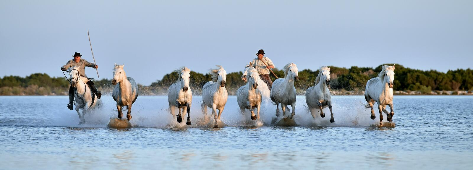 Riders and Herd of White Camargue horses running through water stock photography