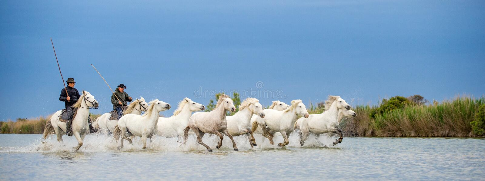 Riders on the White horse drives the horses through the water. royalty free stock photos