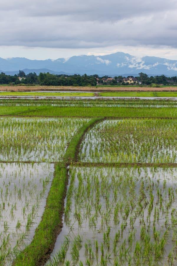 Ridge And Rice fält i Chiangmai, nordliga Thailand arkivbilder