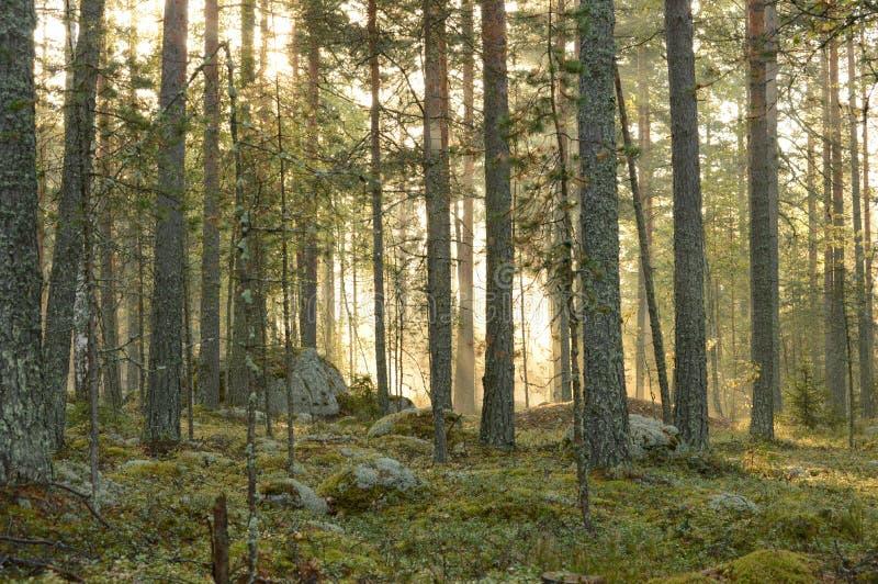 Ridge skog i ett morgonsolljus arkivbild
