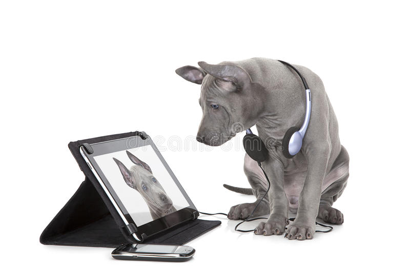 Ridgeback puppy with tablet computer stock photos