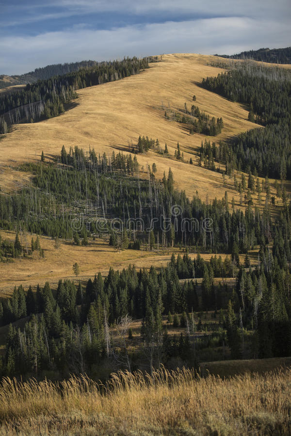 Ridges and yellow plains near Mt. Washburn in Yellowstone, Wyoming. Northern ridge of Mt. Washburn, with conifer trees and yellow grassy plains of late summer royalty free stock photo
