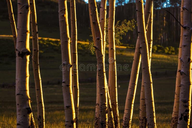 RIDGWAY, COLORADO - Espen bij Zonsondergang, Hastings Mesa Colorado dichtbij Esp, hout royalty-vrije stock afbeeldingen