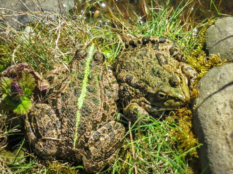 Ridibunda pittoresque de Rana de deux grand grenouilles se dorer sur le soleil de ressort par l'?tang de jardin Plan rapproch? image stock