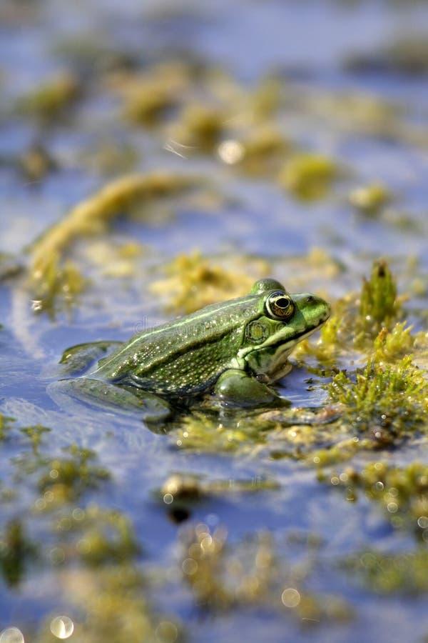 ridibundus de ridibunda de rana de pelophylax de lac de grenouille photo libre de droits