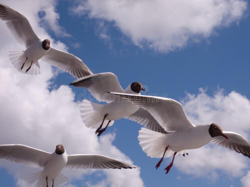 Ridibundus do Larus das gaivotas foto de stock