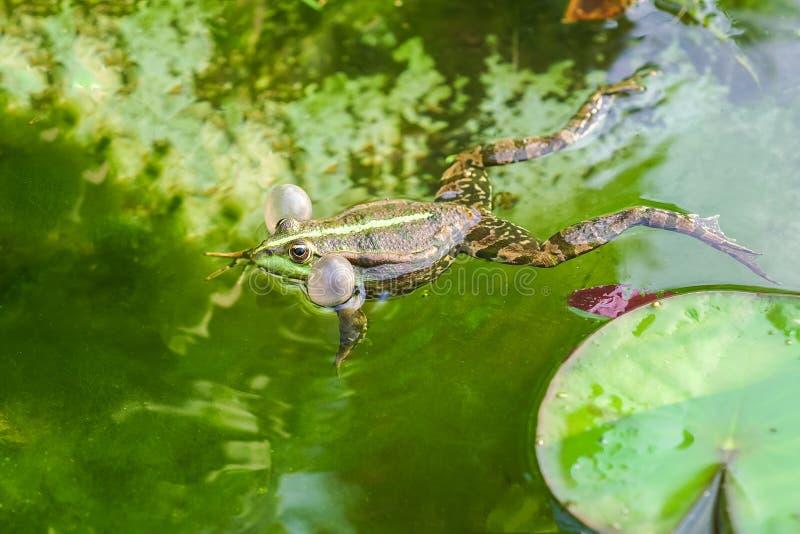 Ridibundus masculin de Pelophylax de grenouille de marais de chant photographie stock libre de droits