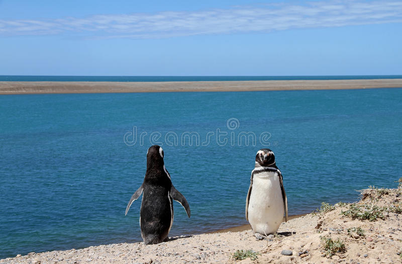 Ridiculous couple of penguins Magellanic on the Atlantic coast. stock photo
