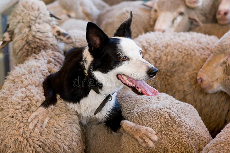 Riding on the sheeps' back. A black and white border collie resting on the backs of a herd of merino sheep after having herded them into the sheep`s pen stock photography