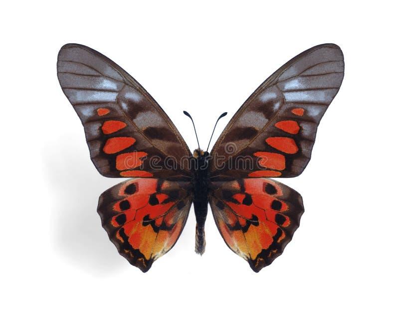 Ridleyanus di Graphium immagine stock libera da diritti