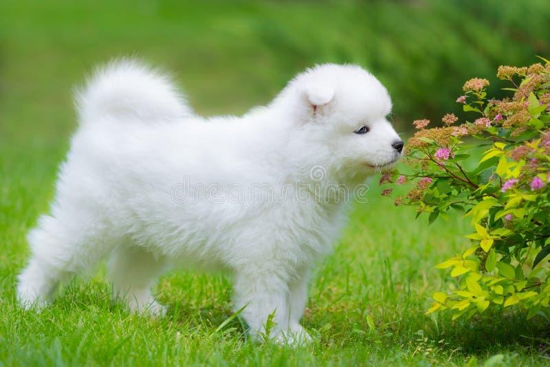 Riechende Blume des Samoyedhundewelpen stockfotografie