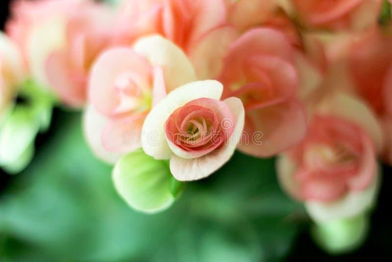 Rieger Begonia Flowers i Thailand arkivfoton