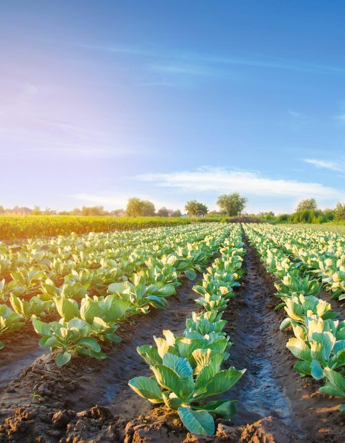 Riego natural de cosechas agr?colas, irrigaci?n Las plantaciones de la col crecen en el campo filas vegetales Cultivo de agricult foto de archivo