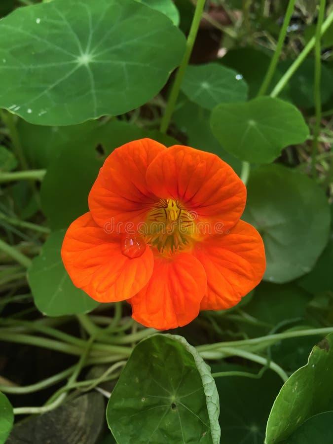 Riegue el descenso en la flor anaranjada hermosa, fondo verde imagen de archivo libre de regalías