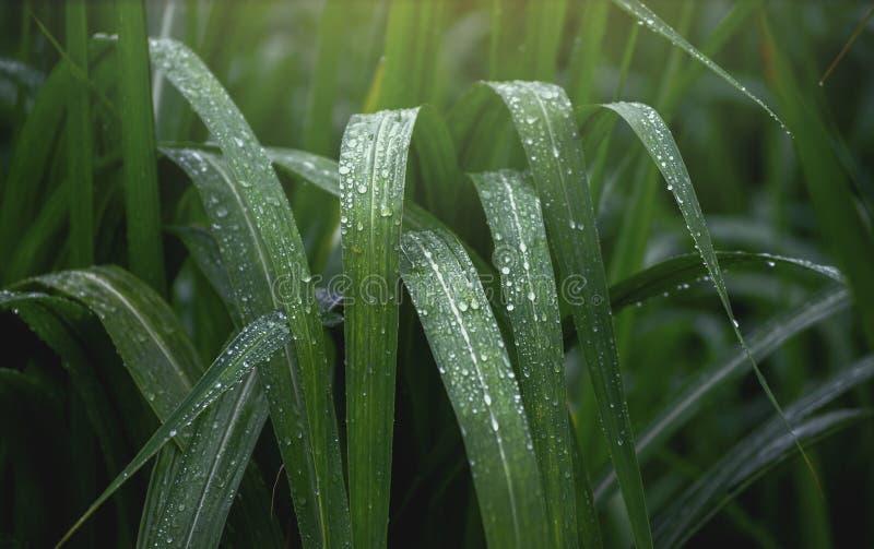 Riegue las gotas en la hoja verde fresca Cierre encima de la hoja verde del bastón después de llover fotografía de archivo libre de regalías
