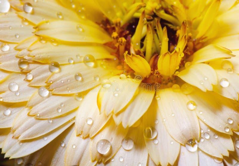 Riegue los descensos en la flor amarilla, cierre para arriba imagenes de archivo