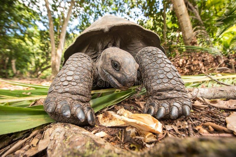 Riese Aldabra-Schildkröte auf einer Insel in Seychellen stockbild