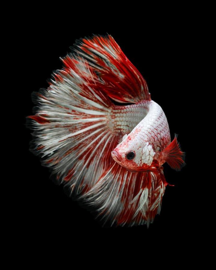 Riese Betta-Fischhalbmond stockbilder