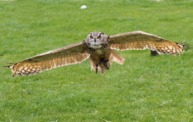 Riese Eagle Owl im Flug stockfoto