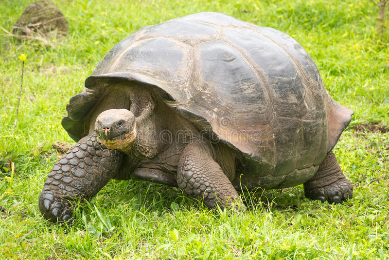 Riese-Galapagos-Schildkröte, Ecuador, Südamerika stockbild
