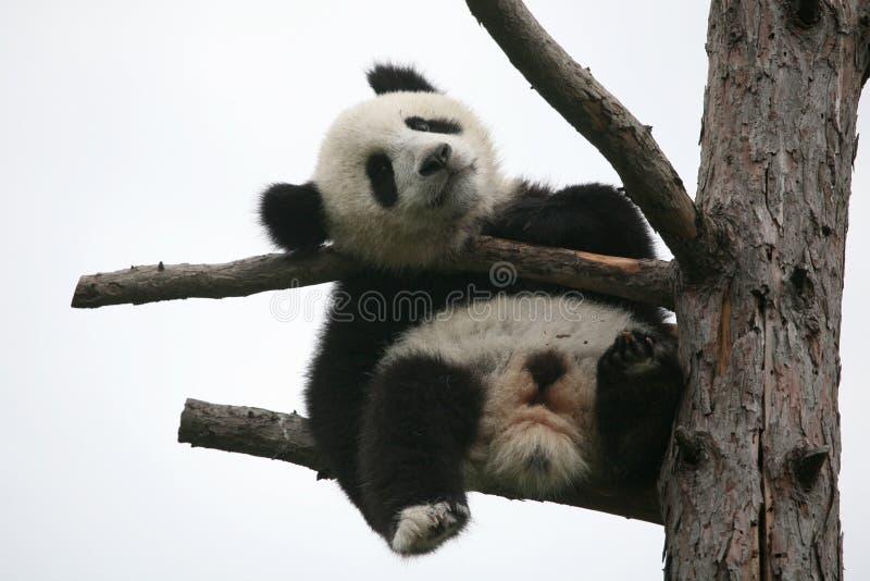 Riese Panda Cub lizenzfreies stockfoto