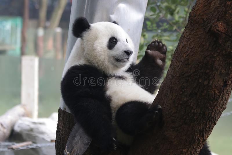 Riese Panda Cub in Chongqing, China lizenzfreies stockfoto