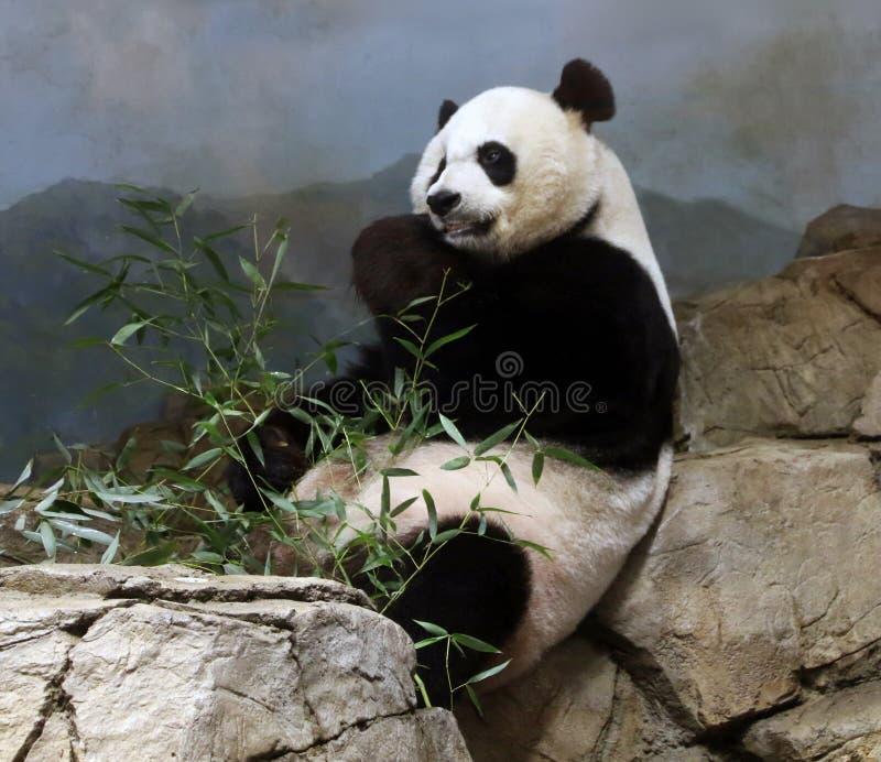 Riese-Panda At The Smithsonian-` s Staatsangehörig-Zoo lizenzfreies stockbild