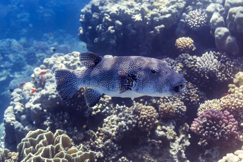 Riesenkugelfisch - stellatus in Rotem Meer, Ägypten lizenzfreie stockbilder