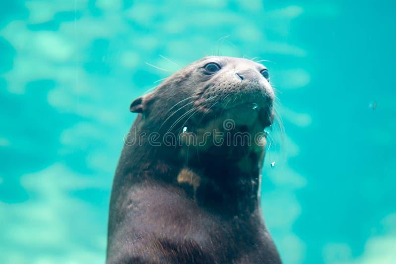 Riesenotter-Hauptporträtaufnahme beim Schwimmen in einem großen Aquarium stockfoto