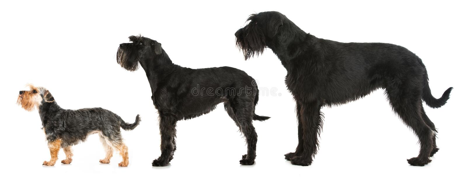 Three schnauzer dog isolated on white background. Three schnauzer dog behind each other isolated on white background stock photo