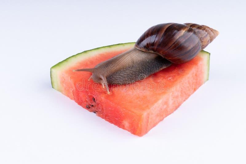 Riesige afrikanische Landschnecke, die Wassermelone, auf einem weißen Hintergrund, Makro isst stockfotos