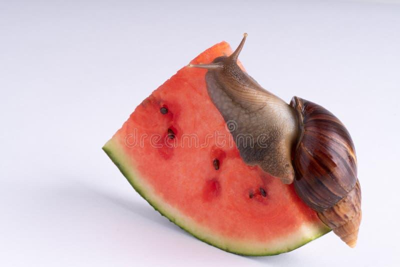 Riesige afrikanische Landschnecke, die Wassermelone, auf einem weißen Hintergrund, Makro isst lizenzfreies stockfoto