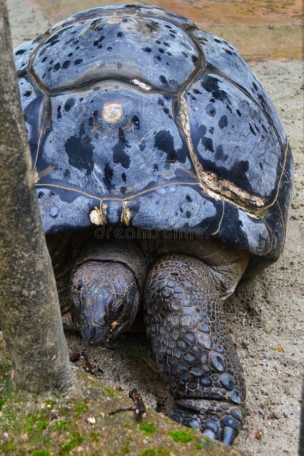 Riesige aldabra Schildkrötennahaufnahme in Singapur stockfoto