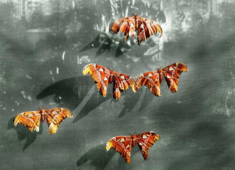 Riesige Atlas-Motte stockfotografie